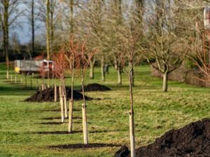 Planting of lime trees (© The Parks Trust)