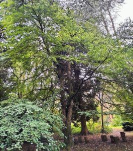 katura: cercidiphyllum
